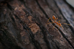 Rote Ameise auf einem Baum Stockfotografie