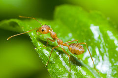 Rote Ameise auf grünem Blatt Lizenzfreie Stockbilder