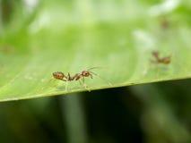 Rote Ameise auf grünem Blatt Lizenzfreies Stockbild