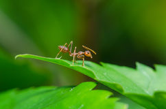 Rote Ameise auf grünem Urlaub Lizenzfreie Stockfotografie