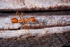 Rote Ameise auf hölzernem Lizenzfreies Stockbild