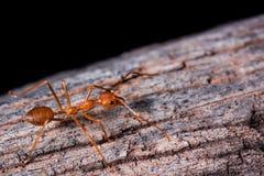 Rote Ameise auf hölzernem Stockbilder