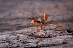 Rote Ameise bereit, auf hölzernem zu kämpfen Stockbilder