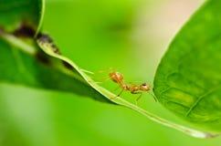 Rote Ameise in der grünen Natur Lizenzfreie Stockfotografie