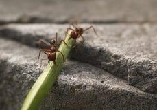Rote Ameise, die Blatt Nahaufnahme-Makrofoto isst lizenzfreie stockbilder