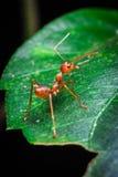 Rote Ameise drehen sich zurück auf das grüne Blatt Stockbild