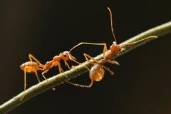 Rote Ameise im Naturhintergrund Stockfotos