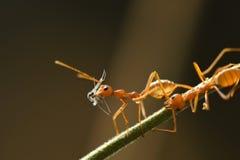 Rote Ameise im Naturhintergrund Stockfoto