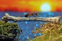 Rote Ameise kreuzt den Fluss auf einem Klotz Stockfotos