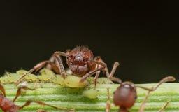 Rote Ameise lebt kleine grüne Blattläuse auf Grünpflanzestamm in Herden stockfotos