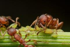 Rote Ameise lebt kleine grüne Blattläuse auf Grünpflanzestamm mit Schwarzem in Herden lizenzfreies stockbild