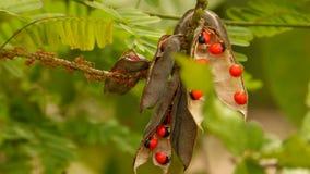 Rote Ameise und rote Samen über Baum Lizenzfreie Stockbilder