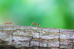 Rote Ameisen Stockbild