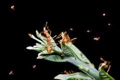 Rote Ameisen Stockfotografie