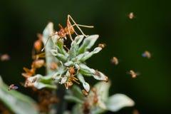 Rote Ameisen Stockbilder