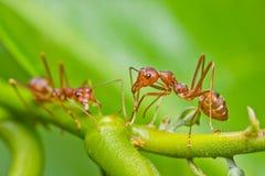 Rote Ameisen Stockfoto
