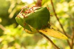 Rote Ameisen arbeiten an dem roten Nestbereich der Ameise Stockbild
