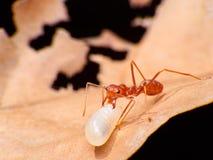 Rote Ameisen-Arbeitsmakro in Abschnitt-Ameisen-moveing Ei lizenzfreies stockbild