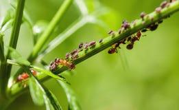Rote Ameisen auf einem grünen Stamm Stockfotografie