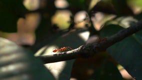 Rote Ameisen, die auf eine Niederlassung des Mangobaums gehen stock video footage