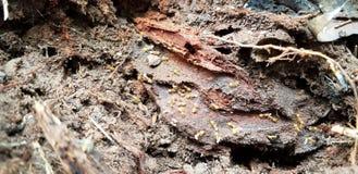 Rote Ameisen, die Eier tragen, sobald Nest im toten BAUM-Stumpf Manassas VA gestört wird lizenzfreies stockfoto