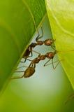 Rote Ameisen team Arbeit Lizenzfreies Stockbild