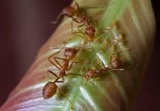 Rote Ameisen und Blattläuse auf Blatt Stockbilder