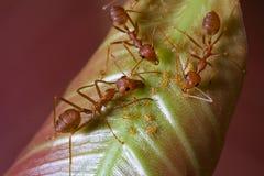 Rote Ameisen und Blattläuse auf Blatt Lizenzfreie Stockfotos