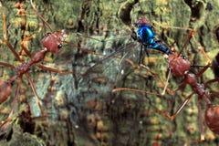 Rote Ameisen und ihr Opfer Lizenzfreie Stockfotos
