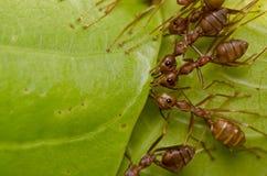 Rote Ameisenteamarbeit Stockfotos