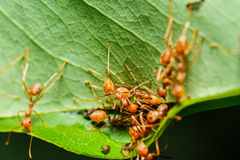 Rote Ameisenteamwork Stockfotos