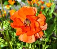 Rote Anemone Stockfoto
