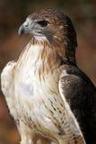 Rote angebundene Falke-Nahaufnahme Lizenzfreie Stockfotos