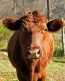 Rote Angus-Kuh in der Vorderansicht des grasartigen Feldes Lizenzfreie Stockfotos