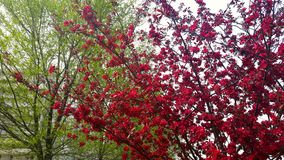 Rote Apfelblüte und -blätter Lizenzfreies Stockfoto