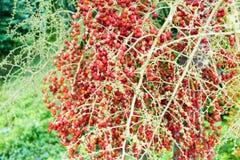 Rote Arekanuss-Nuss von Arekanusspalme mittlerem Schuss Stockbild