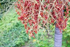Rote Arekanuss-Nuss von Arekanusspalme mittlerem Schuss Lizenzfreies Stockbild