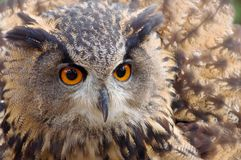 Rote Auge lang - ohrige Eule Stockfotografie