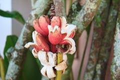 Rote Bananen auf Baum stockfotos