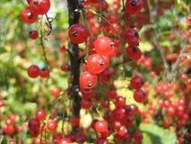 Rote Beere stockfoto