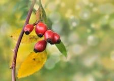 Rote Beere auf einer Niederlassung im Herbst Lizenzfreie Stockfotos