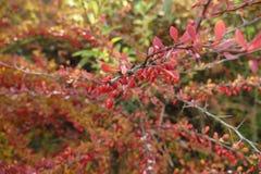 Rote Beere auf einer Niederlassung im Herbst Lizenzfreies Stockbild