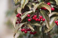 Rote Beere mit getrocknetem Blatt stockfoto