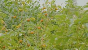 Rote Beere von dogrose Hundbrombeerstrauch im Herbstgarten Herbstniederlassungen eines Busches eines dogrose mit roten Früchten Lizenzfreie Stockfotos