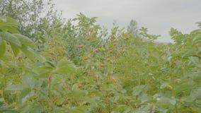 Rote Beere von dogrose Hundbrombeerstrauch im Herbstgarten Herbstniederlassungen eines Busches eines dogrose mit roten Früchten Lizenzfreies Stockbild