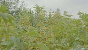 Rote Beere von dogrose Hundbrombeerstrauch im Herbstgarten Herbstniederlassungen eines Busches eines dogrose mit roten Früchten Stockfotografie