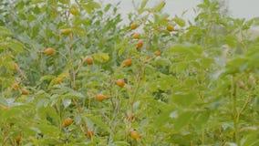 Rote Beere von dogrose Hundbrombeerstrauch im Herbstgarten Herbstniederlassungen eines Busches eines dogrose mit roten Früchten Stockbild