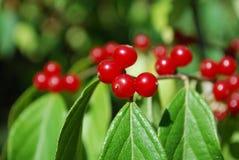 Rote Beeren Lizenzfreie Stockbilder