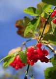 Rote Beeren lizenzfreies stockbild