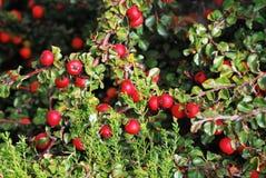 Rote Beeren 2 Lizenzfreies Stockbild